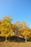 Fall trees Royalty Free Stock Photos