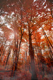 Fall Trees. Vivid autumn foliage in the woods on a misty morning