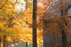 Fall trees in color near rustic barn. Sun shining on the fall colored trees near a rustic tobacco barn in the country Stock Image