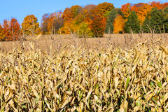 Fall Trees and Corn. Corn ready for harvest in front of colorful trees in autumn Stock Photography