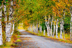 Fall trees on country road. Fall birch trees shed their leaves in preparation for a cold winter along a country road Royalty Free Stock Photos