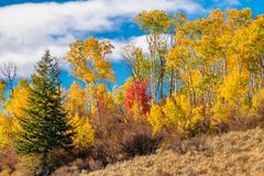 Fall trees of different colors on the top of a ridge against blu. Yellow and red autumn ress and a blue sky with shit puffy clouds royalty free stock photos