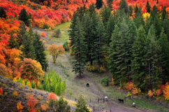 Fall Trees with Golden Leaves and Horses Royalty Free Stock Photography