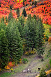 Fall Trees with Golden Leaves and Horses Royalty Free Stock Photos