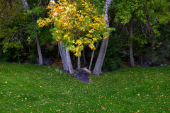 Fall Trees with Golden Leaves in Park Green Grass Royalty Free Stock Photos