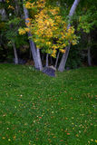 Fall Trees with Golden Leaves in Park Green Grass Stock Photos