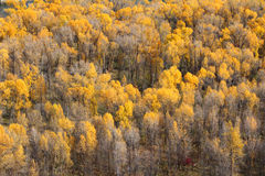 Fall Trees. A group of Yellow fall trees as seen from above Royalty Free Stock Photo