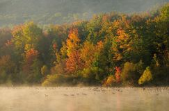 Fall Trees a Lake and Geese Stock Photography