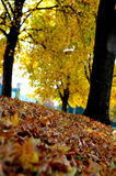 Fall Trees And Leaves Royalty Free Stock Photo
