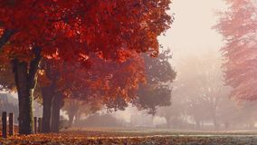 Fall Trees In The Park At Sunrise. Beautiful fall trees in the park with leaves falling stock footage