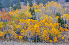 Fall trees on the Sawtooth mountains Royalty Free Stock Images