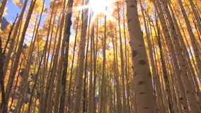 Fall trees with sunlight beaming through stock video footage
