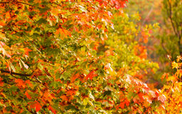 Fall trees yellow orange leaves nature background Royalty Free Stock Image