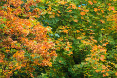 Fall trees yellow orange leaves nature background stock images
