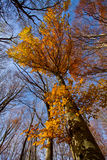 Fall Treetops Stock Image