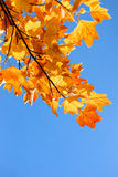 Fall and tuliptree on background of blue sky stock photos