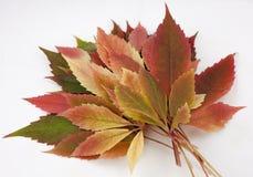 Fall und Herbstlaub auf einer weißen Hintergrundsammlung Lizenzfreie Stockbilder
