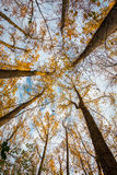 Fall Up Through The Trees. A beautiful view of Fall looking up through the trees Royalty Free Stock Image