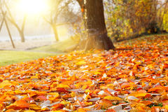 Fall verlässt im Herbstbaum im Park Stockbild