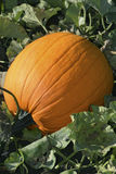 Fall on the Vine. Dew covered pumpkin on the vine Stock Photos