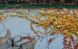 Fall vines on wall with colorful leaves royalty free stock photo