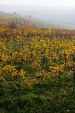 The  fall vineyard Stock Images