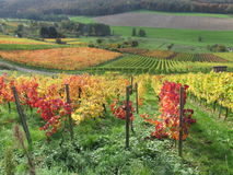 Fall Vineyard Royalty Free Stock Images