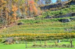 Fall vineyard Stock Images