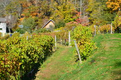 Fall in the vineyard Royalty Free Stock Photography