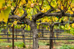 Fall vineyard in Sonoma County, California Stock Images