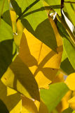 Fall Walnut Silhouette Stock Photography