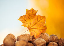 Fall walnuts Stock Image