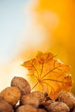 Fall walnuts royalty free stock images