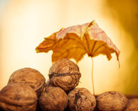 Fall walnuts royalty free stock photos