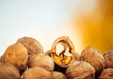 Fall walnuts royalty free stock photo