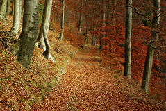 Fall way. In beech forest Royalty Free Stock Photography