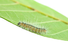 Fall webworm crawling on leaf Stock Image