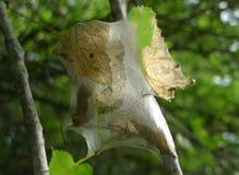 Fall Webworm Stock Image