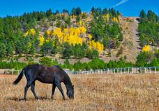 Fall in the Western Mountains where a Black Stallion is Bacdropped by Changing Aspens and Pines stock photos