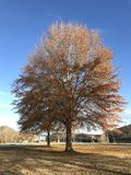 Fall Willow Oak. A fall foliage willow oak Quercus phellos tree at Oak Ridge Marina, Oak Ridge, Tennessee stock images