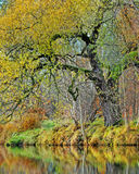 Fall willow tree and a river Royalty Free Stock Images