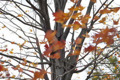 Fall Wind. Wind blowing leaves off of a tree Stock Photography