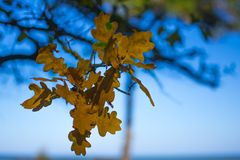 Fall, the withering leaves on a tree branch Stock Photos