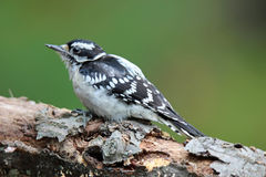 Fall Woodpecker. A female downy woodpecker (Picoides pubescens) perching on a branch in Fall Stock Image