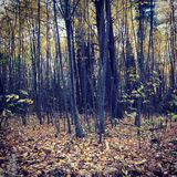 Fall woods Royalty Free Stock Photography