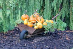 Autumn Yard and Home Landscaping. Fall yard landscaping with traditional orange pumpkins and squash in an antique wheelbarrow royalty free stock image