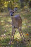 Fall yearling. Yearling whitetail deer in the early part of autumn stock photos
