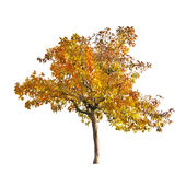Fall yellow apple-tree isolated on white Stock Photography