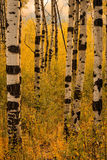 Fall yellow aspen background in the Wasatch Mountains. Autumn landscape in the Wasatch Mountains, USA Royalty Free Stock Photography