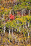 Fall yellow aspen background in the Wasatch Mountains. Autumn landscape in the Wasatch Mountains, USA Royalty Free Stock Photos